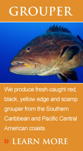We produce fresh-caught red, black, yellow edge and scamp grouper from the Southern Caribbean and Pacific Central American coasts.